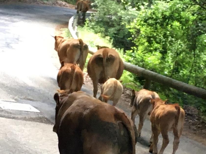 Mandria di mucche a Campaegli
